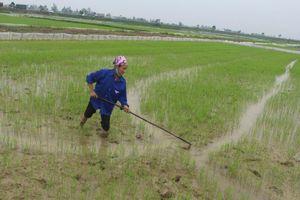 Nhiều diện tích lúa xuân ở Nghệ An bị sâu bệnh gây hại
