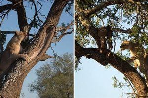 Sư tử leo lên cây trộm mồi của mẹ con báo đốm