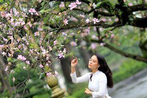 Hà Nội mùa hoa ban