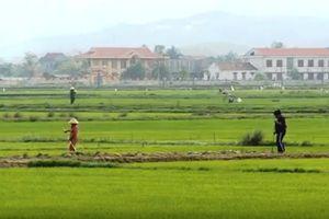 Hơn 1.300 ha lúa bị sâu bọ và chuột phá hoại
