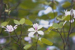 Chiêm ngưỡng loài hoa của núi rừng Tây Bắc giữa lòng Hà Nội