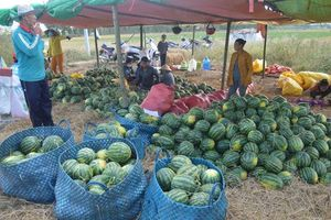 Nông dân phấn khởi vì dưa hấu trúng mùa, được giá
