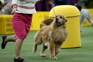 Tài năng của nhà vô địch cuộc thi chó thuần chủng thế giới