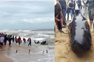 Clip hàng trăm người tới xem giải cứu và chạm cá voi lấy hên ở bờ biển Quảng Ngãi