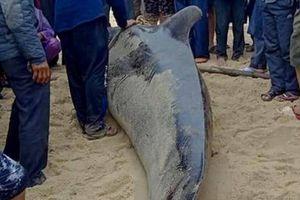 Cá Ông Chuông nặng 500kg mắc cạn ở bờ biển Quảng Ngãi