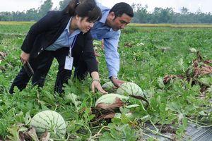 Quảng Ngãi kêu gọi 'giải cứu' hàng nghìn tấn dưa hấu, ớt