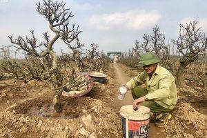 Dân Nhật Tân tất bật trồng lại đào sau Tết, mong chờ vụ bội thu