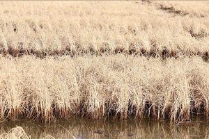 Hạn, mặn khốc liệt tại Cà Mau - Bài 1: Thiệt hại nặng nề