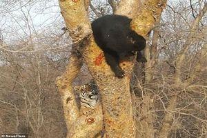Gầm gừ dọa gấu đen, hổ non nhận cái kết 'bẽ bàng'