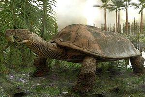 Đây là loài rùa 'khủng' nhất từng sống trên Trái Đất, có thể ăn thịt cả cá sấu