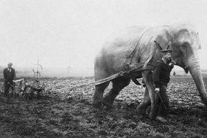 Những con voi đi cày thay trâu, ngựa trong Thế chiến thứ I