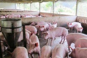 Nam Định: 80% số xã hết dịch tả lợn châu Phi