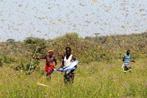 Trung Quốc chi 200 triệu USD ngăn ngừa châu chấu từ châu Phi