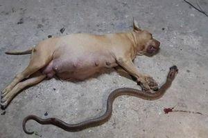 Chó pitbull trung thành đang mang bầu bị rắn hổ mang cắn chết