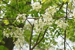 Những vẻ đẹp riêng có của hoa sưa Hà Nội khiến nhiều người thích thú