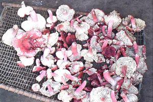 Mùa nấm chẹo ở Tiên Yên