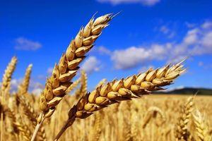 Hạt lúa mì nhiều tính năng
