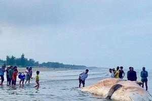 Trục vớt xác cá voi 10 tấn dạt vào bờ biển Hà Tĩnh