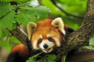Nghiên cứu di truyền cho thấy có 2 loài gấu trúc đỏ khác nhau