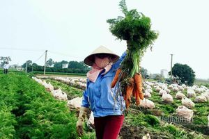 Nông dân kể chuyện chia nhau 100 tỷ trên cánh đồng rực đỏ
