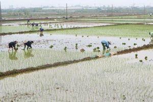 Nguy cơ thiếu nước tưới dưỡng lúa Xuân