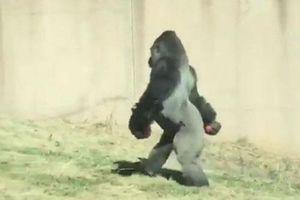Khỉ đột đi hai chân như người vì... sợ bẩn tay!