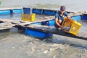 Nông dân Cần Giờ thoát nghèo nhờ nuôi cá bớp