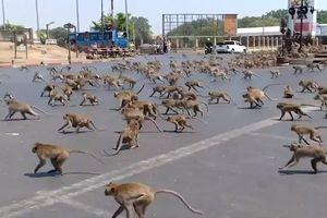 Vắng bóng khách du lịch vì Covid-19, khỉ đói ở Thái Lan lao xuống đường giành đồ ăn