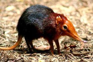 Vì sao nói chuột chù nước là loài ăn thịt rất tinh vi?