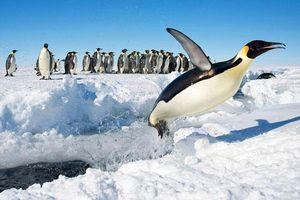 Vì sao gọi là chim nhưng cánh cụt không biết bơi, chỉ biết lặn?
