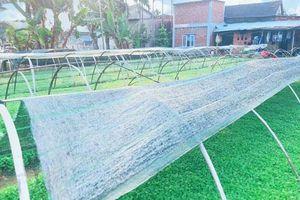 Quảng Nam: Làm giàu từ trồng cây cải con sạch