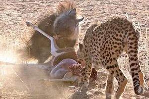 Linh cẩu đơn độc cho đàn báo đốm ôm hận tức tưởi