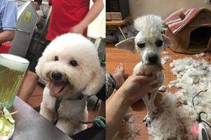 Giao chú chó cho em trai tỉa lông, anh chàng 'khóc cạn nước mắt' vì thú cưng biến thành 'con vật lạ'