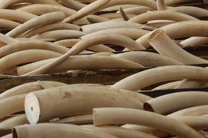 Nghệ An: Bắt xe tải vận chuyển hơn 2 tạ ngà voi
