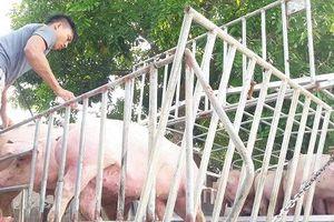 Tổng cục Thống kê: Dự kiến hết quý 3 giá lợn hơi về mức 60.000 đồng/kg