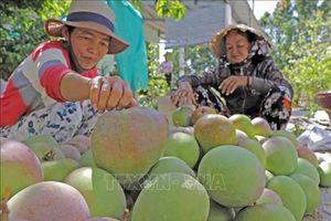 Xoài Cam Lâm bắt đầu xuất khẩu trở lại