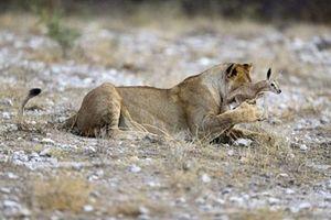 Chuyện lạ: Sư tử bảo vệ linh dương khỏi kẻ săn mồi