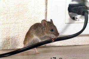 Rắc thứ bột rẻ tiền này vào, chuột 'khiếp vía 3 đời' không dám bén mảng đến nhà