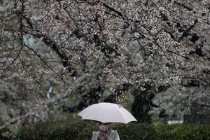 Tuyết bất ngờ rơi ở Tokyo cuối tháng 3, giữa mùa hoa anh đào