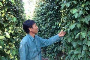 Gần 1.000 ha cây trồng ở Bình Phước có nguy cơ thiếu nước