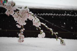 Hoa anh đào khoe sắc tuyệt đẹp giữa trời tuyết lạnh