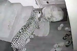 Báo lẻn vào nhà dân săn trộm chó và cái kết vô cùng bất ngờ