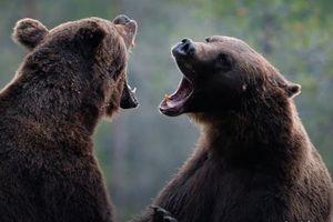 Gấu nâu 700 kg đại chiến giành bạn tình