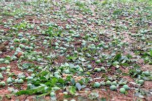 Làm gì để hạn chế ảnh hưởng của mưa đá?