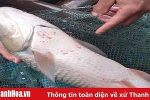Xác định nguyên nhân cá chết bất thường trên sông Mã