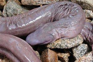Phát hiện 'rắn mù' kỳ lạ ở Amazon
