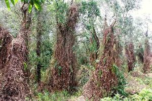 Báo cháy cấp cao nhất toàn lâm phần rừng tràm Cà Mau