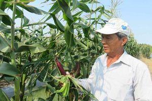 Long An: Thu nhập cao từ trồng bắp nữ hoàng đỏ