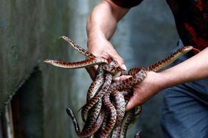 'Vương quốc rắn' nuôi 3 triệu con/năm ở TQ phải đổi nghề vì Covid-19