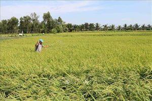 Quảng Trị: Nhân rộng mô hình sản xuất lúa thích ứng với biến đổi khí hậu